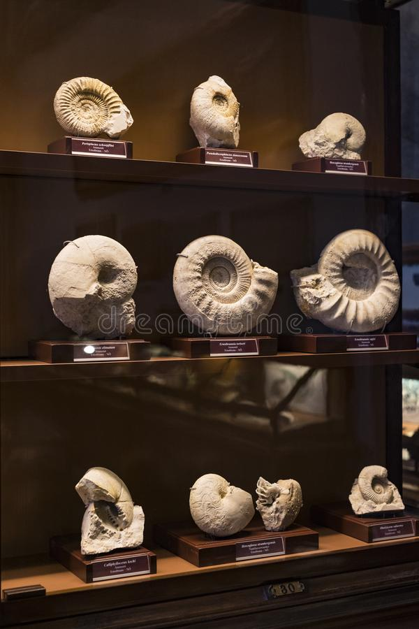 Exposition of fossil protozoa and mollusks in the Museum of Natural History, Vienna. 3 SEPTEMBER 2018, VIENNA, AUSTRIA: Exposition of fossil protozoa and royalty free stock photography