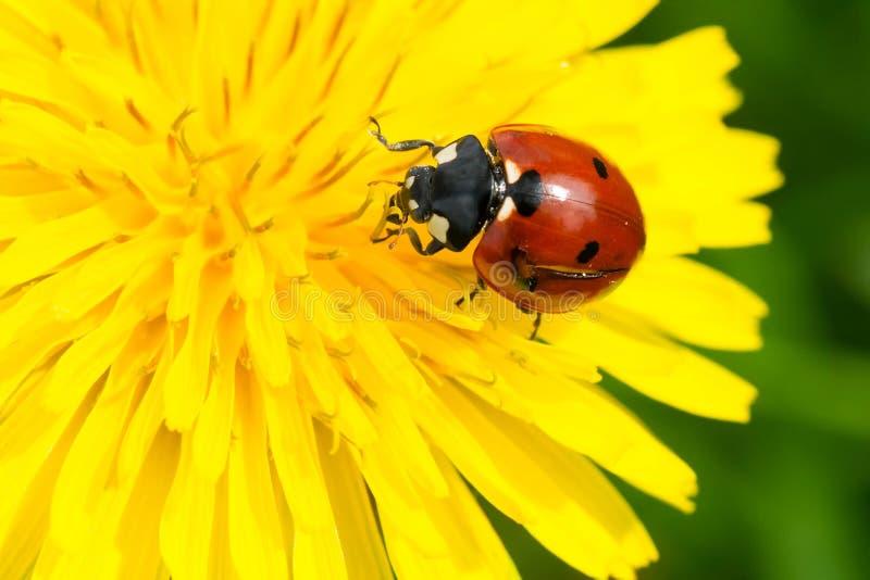 septempunctata Sept-repéré de Madame Beetle - de Coccinella photos stock