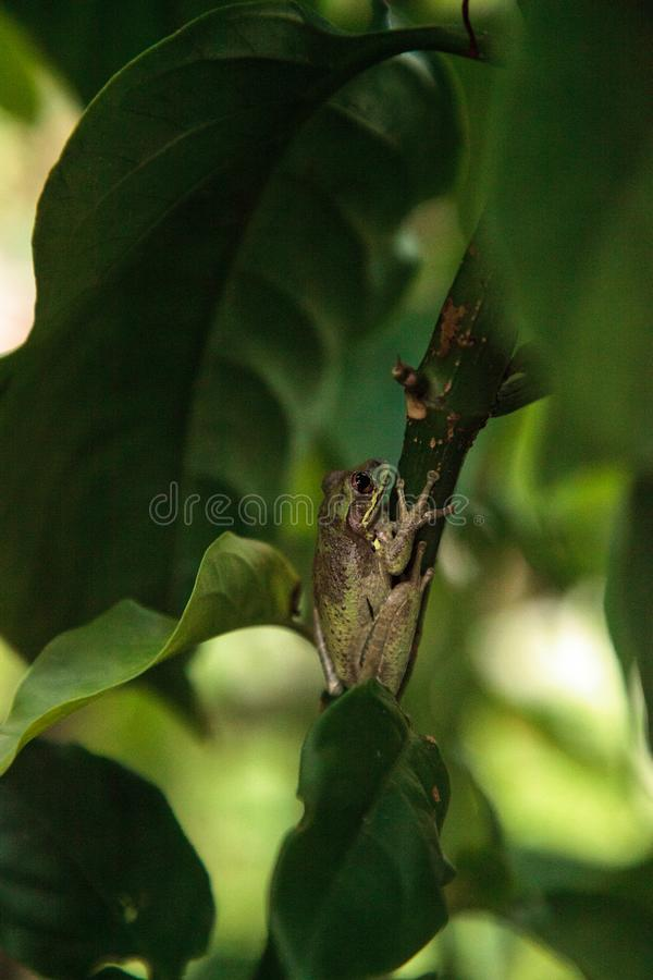 Septentrionalis cubanos de Osteopilus de la rana arbórea imagen de archivo