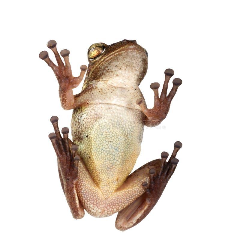 Septentrionalis Kubaner Treefrog Osteopilus Ansicht von unten Getrennt auf weißem Hintergrund stockfotos