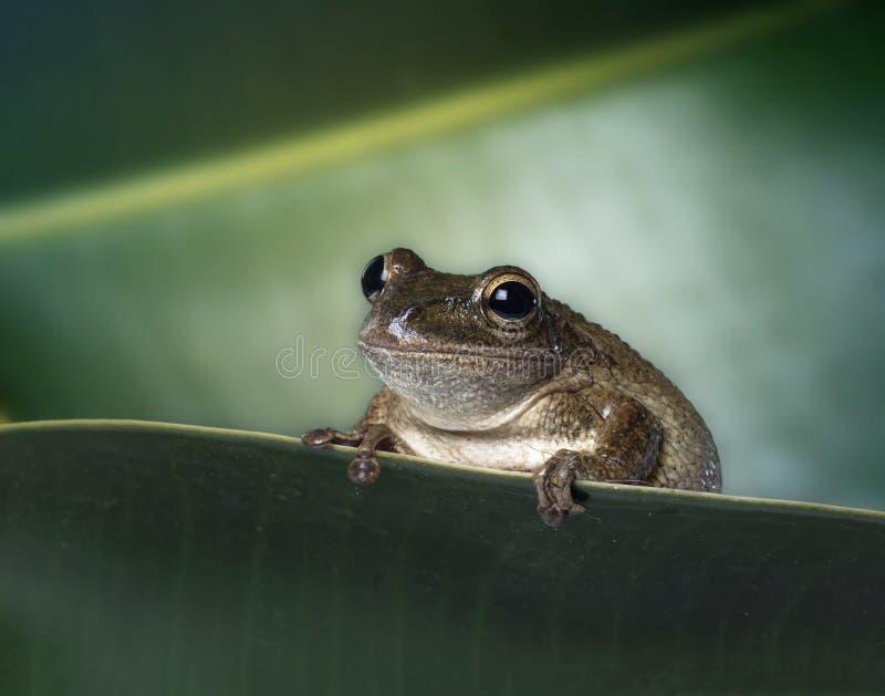 Septentrionalis Kubaner Treefrog Osteopilus auf gr?nem Blatt Weicher Fokus lizenzfreie stockfotografie
