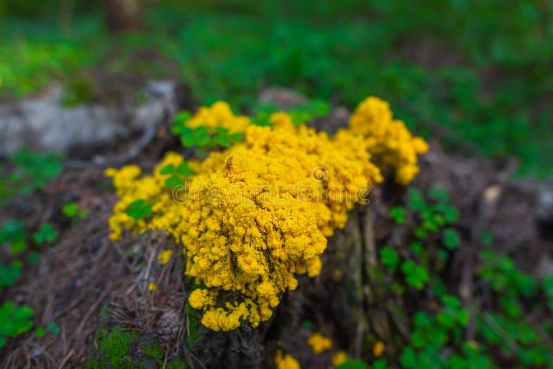 Septica de Fuligo que crece en un tocón un bosque fotografía de archivo