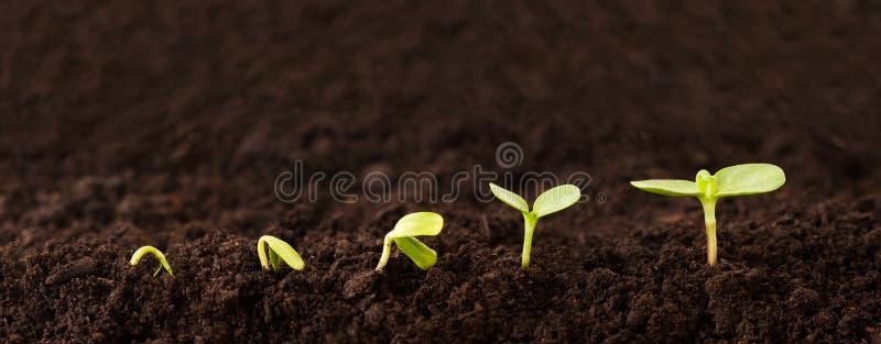 Seqüência crescente da planta na sujeira fotografia de stock royalty free