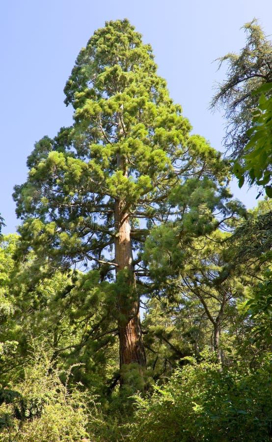 Seqoiadendron Gigant (Mamutowy drzewo) obrazy stock