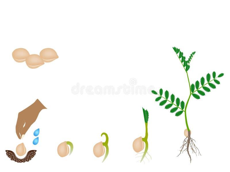 Sequência de uma planta de grão-de-bico que cresce isolada no branco ilustração do vetor