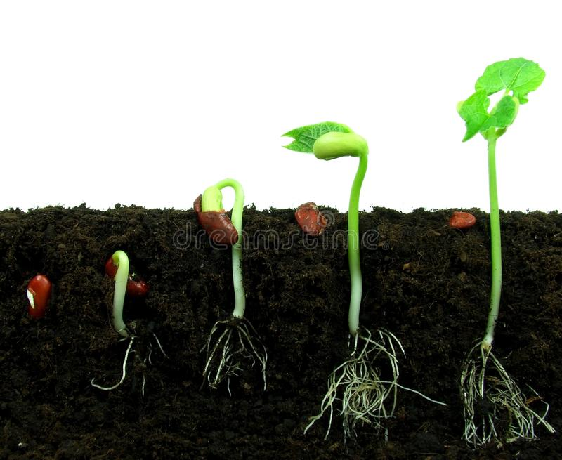 Download Sequance Of Germination Beans Stock Photo - Image: 15295480