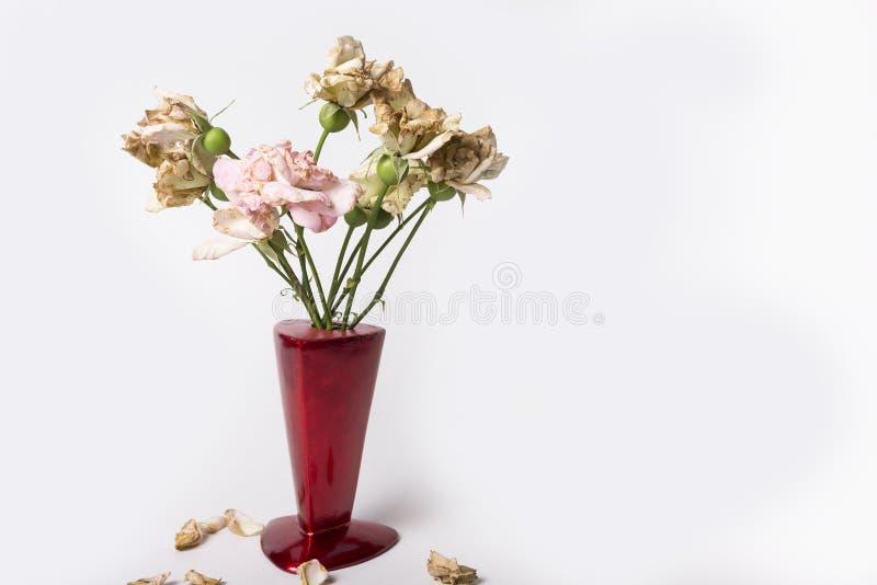 Seque acima rosas no vaso vermelho no fundo branco fotos de stock royalty free