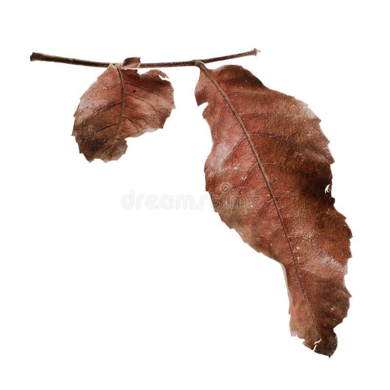 Seque as folhas fotografia de stock