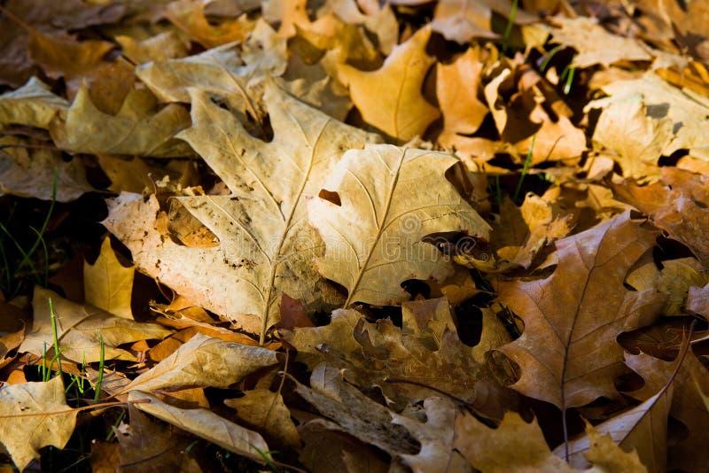 Seque as folhas caídas na terra - conceito do outono foto de stock royalty free