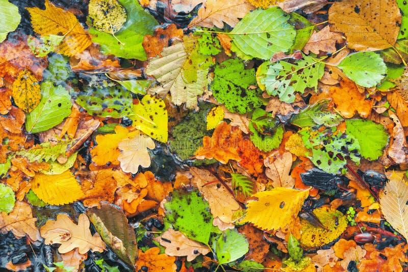 Seque as folhas caídas no outono De volta à escola Após a chuva fotos de stock