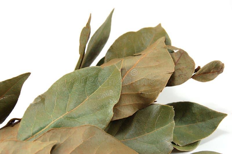 Seque as folhas de uma árvore do louro sobre imagem de stock royalty free