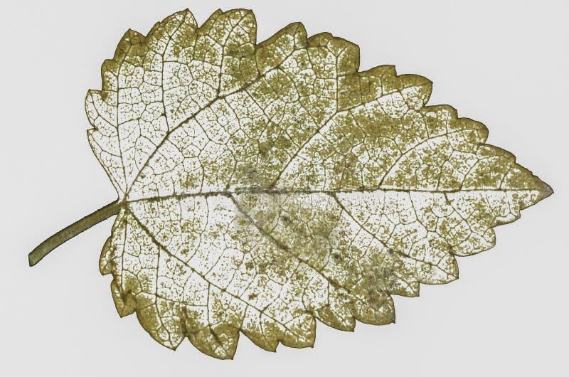 seque as folhas isoladas fotografia de stock