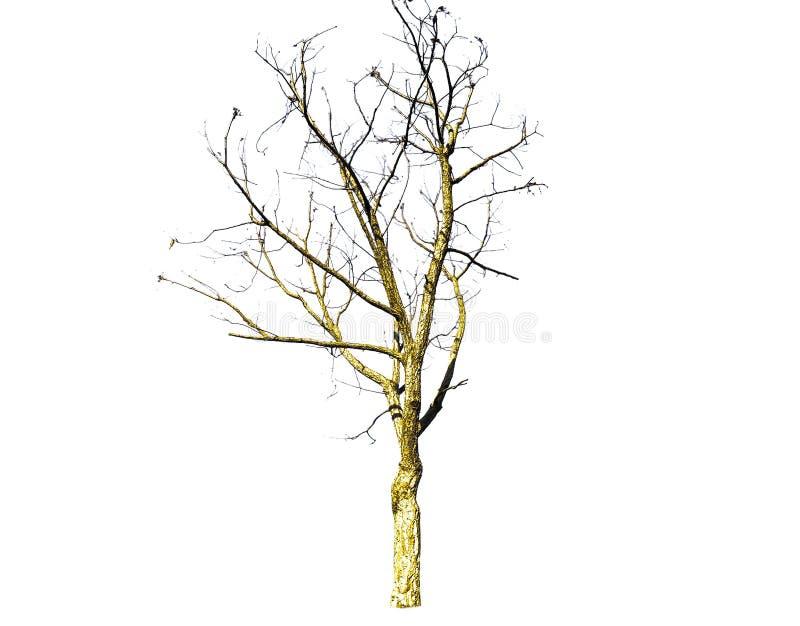 Seque el modelo muerto de las ramas de árbol aislado en el fondo blanco foto de archivo libre de regalías