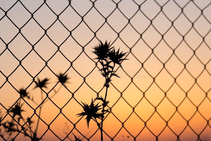 Seque la hierba espinosa detrás de una cerca en el ocaso imagen de archivo