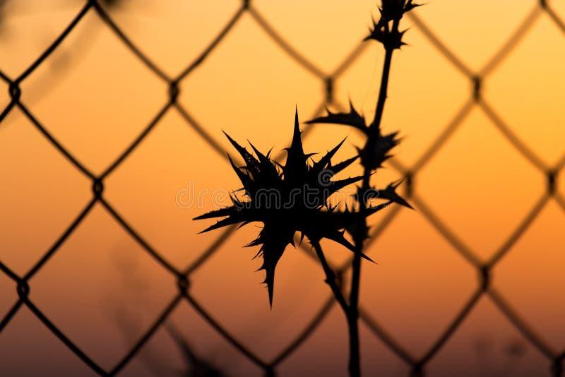 Seque la hierba espinosa detrás de una cerca en el ocaso imágenes de archivo libres de regalías