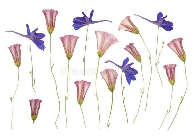 Seque las flores salvajes presionadas aisladas en blanco ilustración del vector