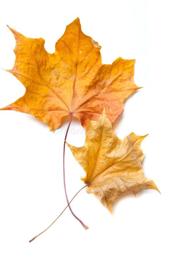 Seque las hojas de arce foto de archivo