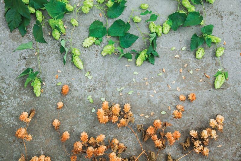 Seque los conos de salto marrones y los conos verdes frescos del salto en el hormigón foto de archivo