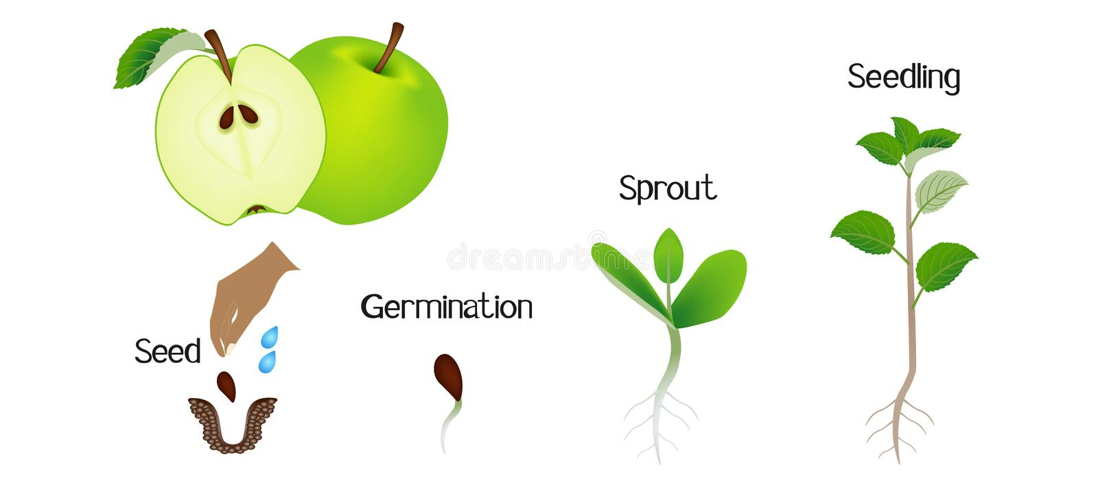Sequence of an apple plant growing isolated on white. Sequence of an apple plant growing isolated on white, beautiful illustration royalty free illustration