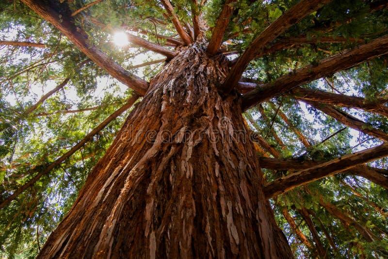 Sequioa Redwood Tree Bark stock photos