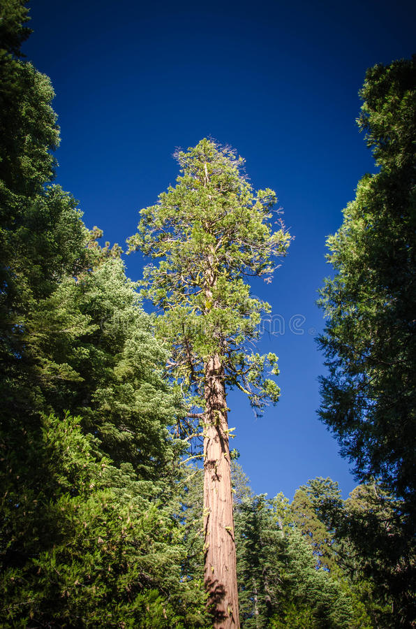 Sequoia δέντρο στοκ εικόνες