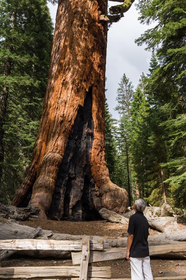 Sequoia θαυμασμού τουριστών redwood δέντρο στοκ φωτογραφία