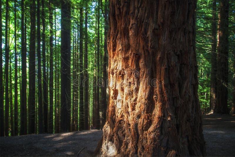 sequoia στοκ εικόνες