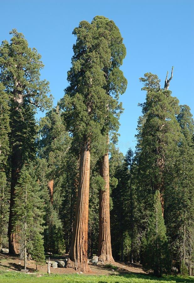 sequoia 4 royaltyfri bild