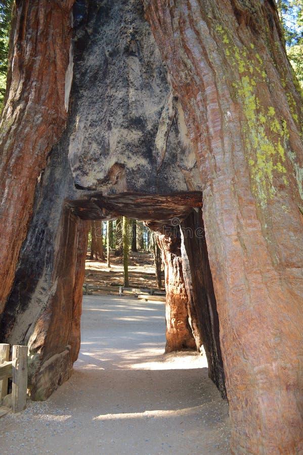 sequoia stock afbeelding