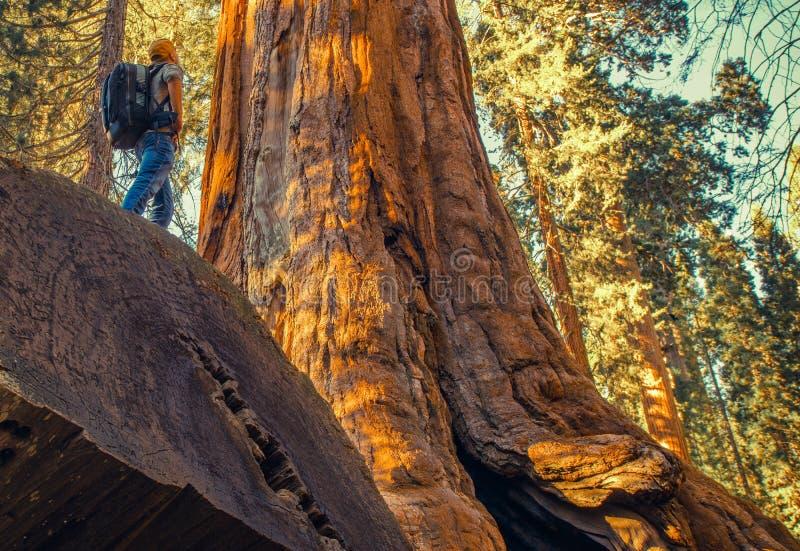 Sequoia Forest Exploration royalty-vrije stock foto