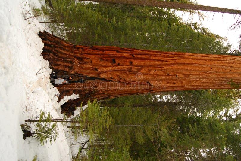 Sequoia gigante fotografia stock libera da diritti