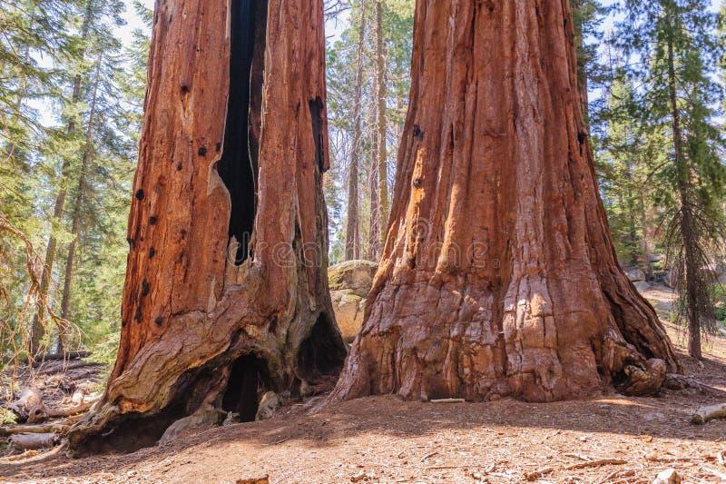 Sequoia gigante em Grant Grove imagem de stock