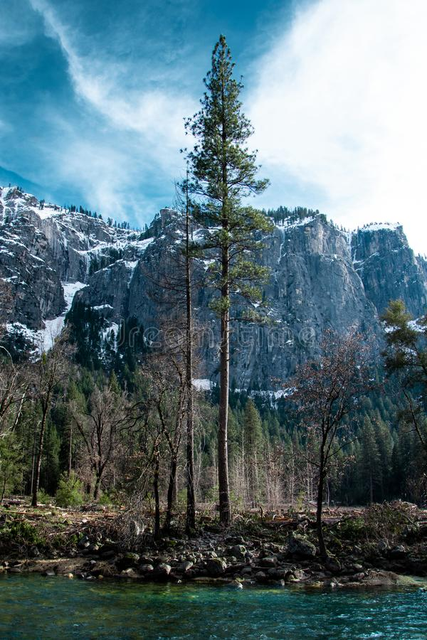 Sequoia gigante no vale de Yosemite foto de stock