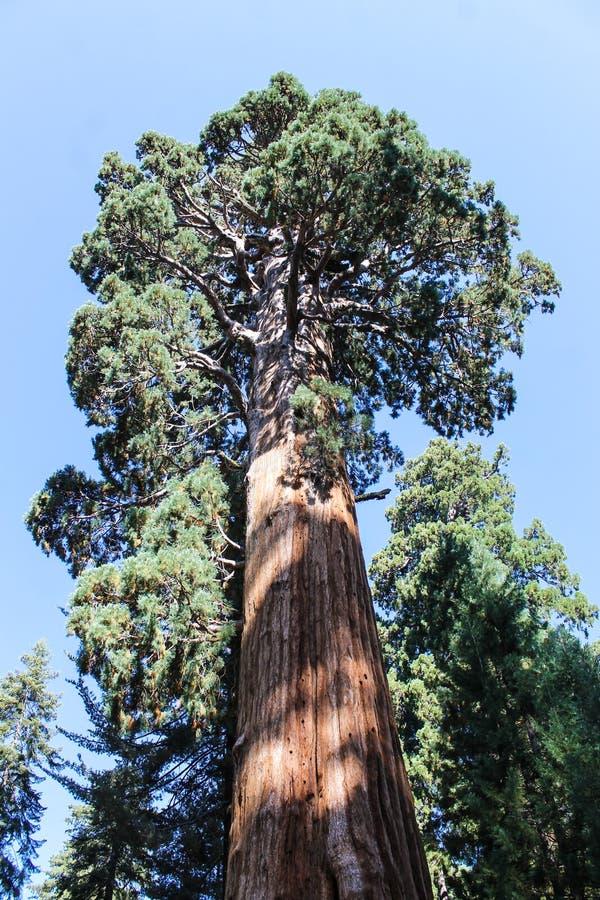 Sequoia gigante, parco nazionale della sequoia fotografie stock libere da diritti