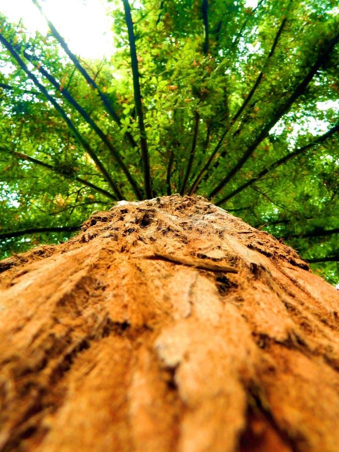 Sequoia Gigantea stock afbeeldingen
