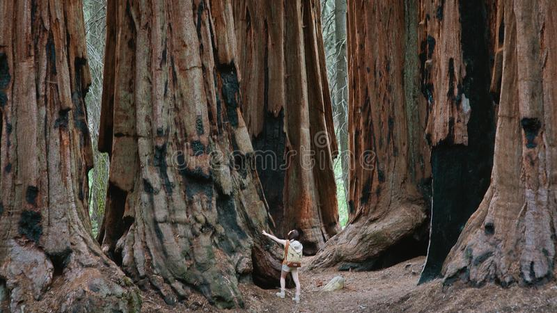 Sequoia gigantes no parque nacional de sequoia fotografia de stock royalty free