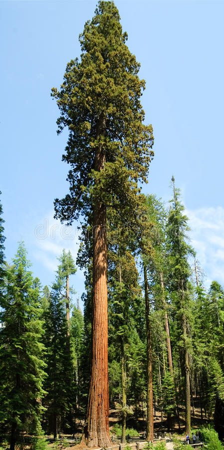 Sequoia Gigantica. Very tall Sequoia Gigantica in Mariposa grove, in Yosemite National Park, California, USA stock photos