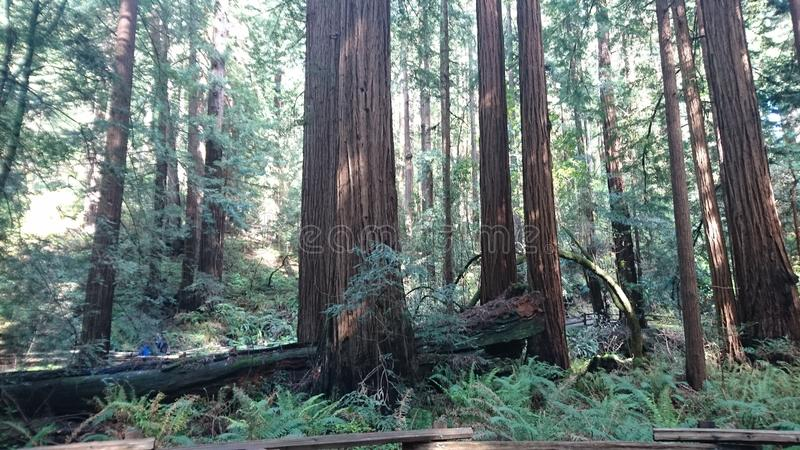 Sequoia Muir Woods fotografia stock libera da diritti