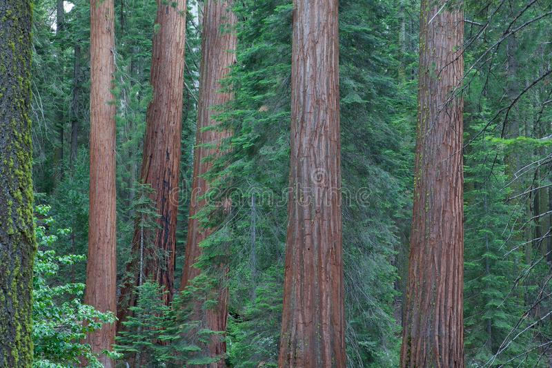 Sequoia National Park, USA. It is a national park in the southern Sierra Nevada east of Visalia, California, in the United States. It was established on royalty free stock image