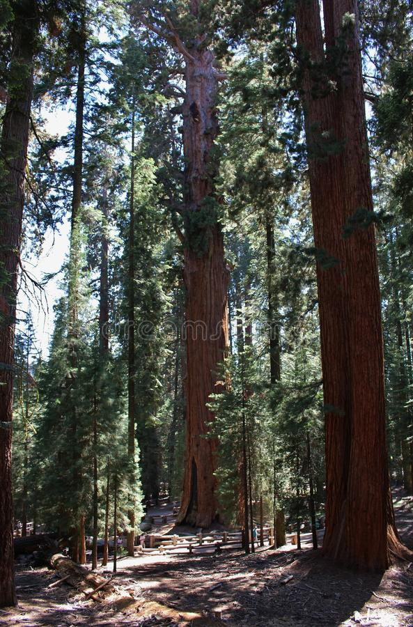 Giant Sequoia Trees in Sequoia National Park, California stock photography