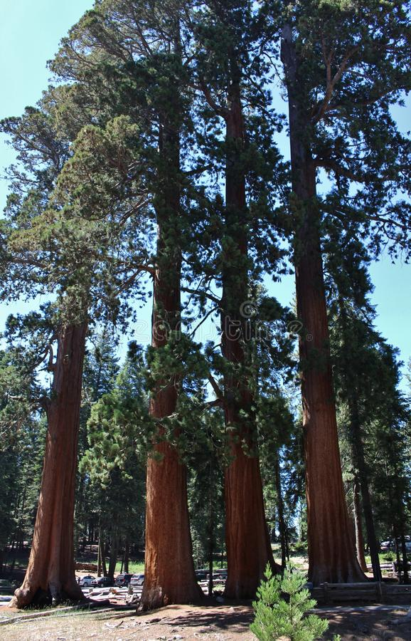 Giant Sequoia Trees in Sequoia National Park, California royalty free stock photography