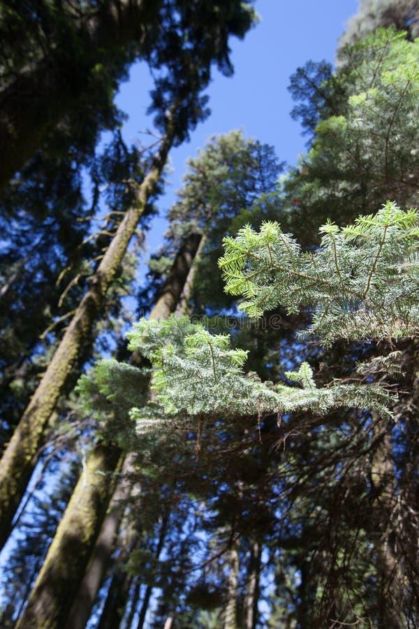 Download Sequoia Nationale Park stock foto. Afbeelding bestaande uit groen - 54082140