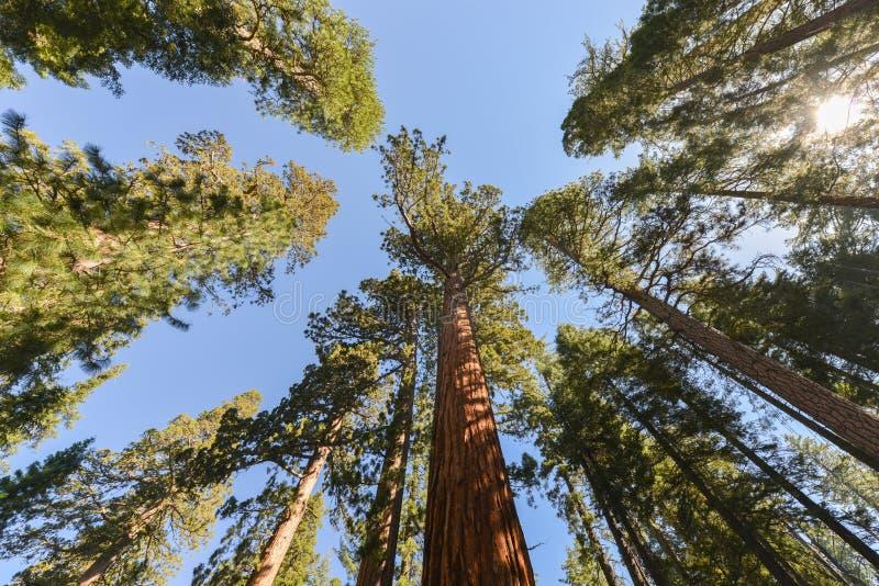 Sequoia no bosque de Mariposa, parque nacional de Yosemite imagens de stock