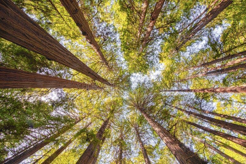 Sequoia Redwood δέντρα στο ξύλινο δάσος Muir στοκ φωτογραφία με δικαίωμα ελεύθερης χρήσης
