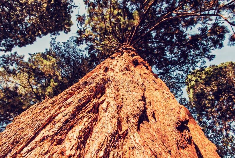 Sequoia redwoods δέντρο - giganteum Sequoiadendron, κόκκινο φίλτρο στοκ φωτογραφία