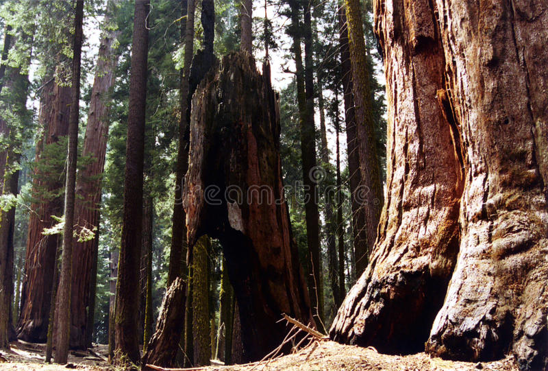 sequoia's royalty-vrije stock foto