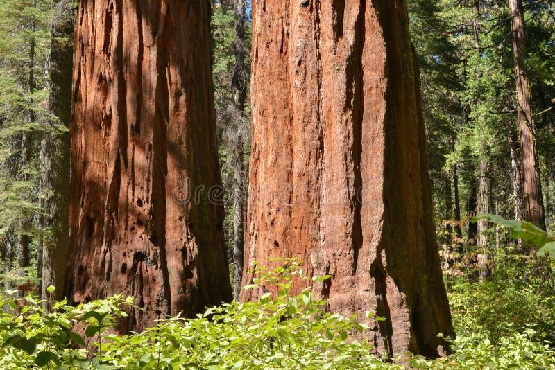 Sequoia's in bosje royalty-vrije stock foto