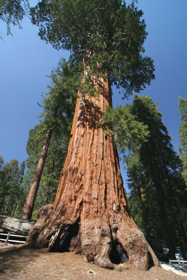 Sequoia sempervirens. The genus in the cypress family Cupressaceae. Sequoia national park. California. USA royalty free stock photos
