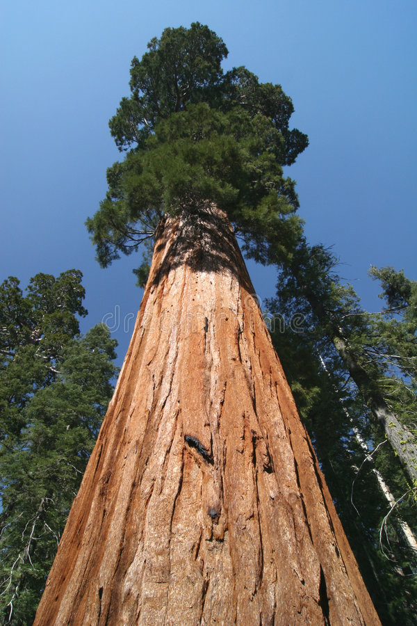 Sequoia sempervirens. The genus in the cypress family Cupressaceae. Sequoia national park. California. USA stock photo