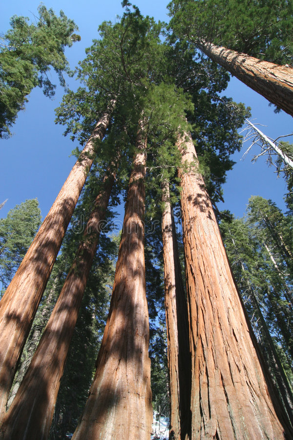 Sequoia sempervirens. The genus in the cypress family Cupressaceae. Sequoia national park. California. USA stock photography